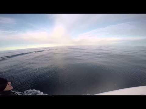 Dolphin offshore North Carolina near the Steeple