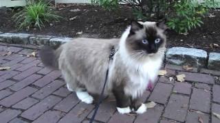 Ugo Chan Ragdoll Cat walking on leash