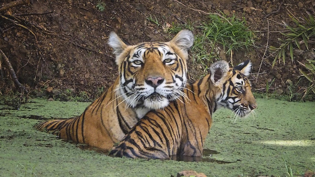 india tigers face extinction youtube