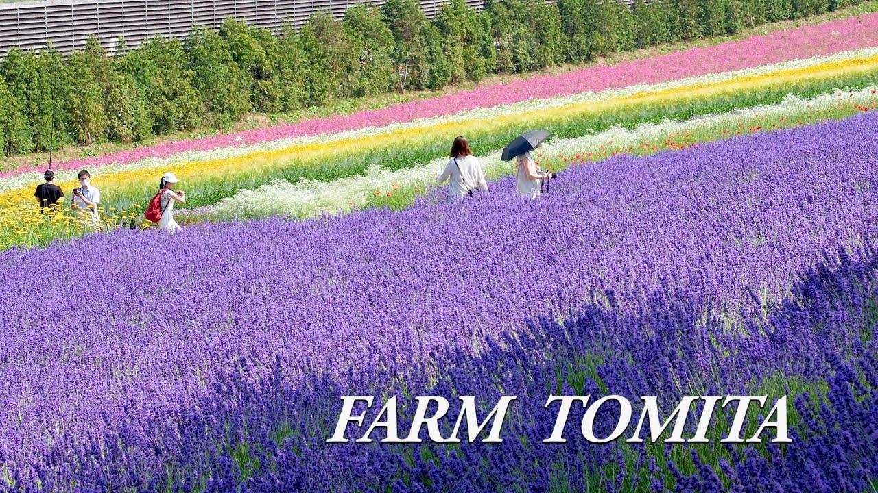 Lavenders are in full bloom in Furano of Hokkaido, FARM TOMITA 2021. #4K #ファーム富田 #Lavender