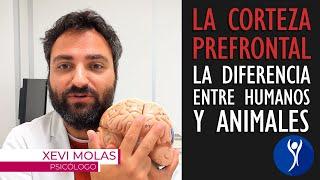 La corteza prefrontal cerebral, el área del cerebro que nos hace humanos