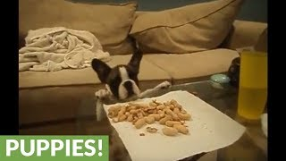 Puppy desperately attempts to eat peanuts, adorably fails