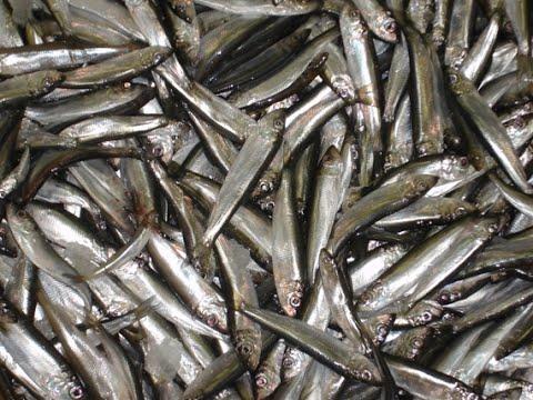 На пустой крючок 17 кг рыбы. Ловля салаки в Балтийском море.