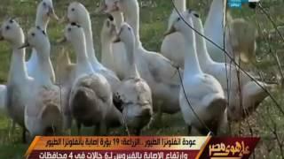 على هوى مصر - عودة انفلونزا الطيور .. الزراعة : 19 بؤرة إصابة بأنفلونزا الطيور وارتفاع الاصابة