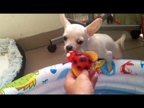 Kraken Chihuahua in swimming pool with ladybug toy