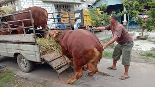 Sapi Sulthon JR Dan Jinak TV Jr Naik Truk Pengambilan Dari Rumah Petani
