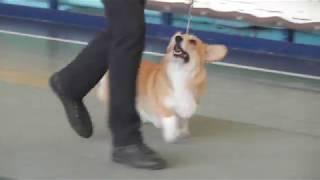 Выставка собак, вельш корги пемброк