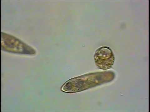 didinium parazita