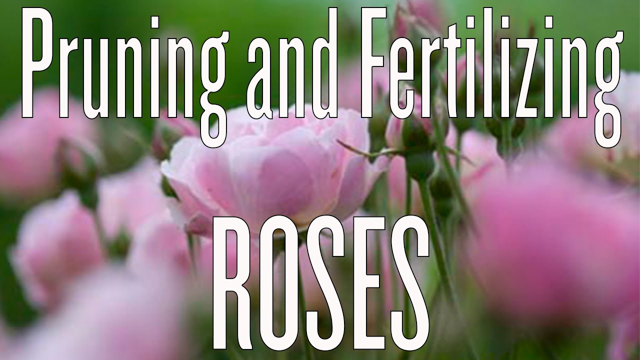 Pruning And Fertilizing Roses You