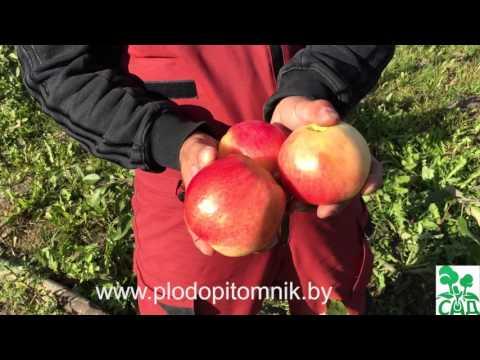 Яблони стелющиеся сорта Соколовское и Ковровое