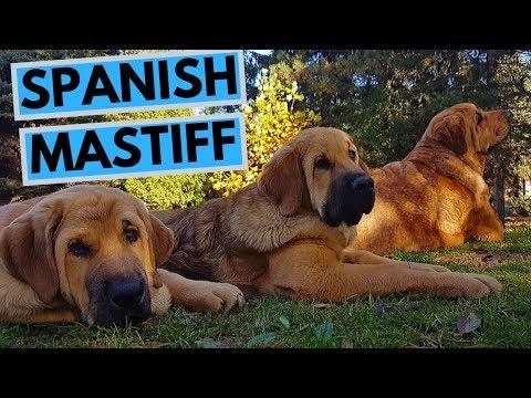 Spanish Mastiff Dog Breed - Facts And Information