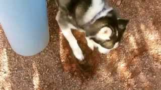 Tip For First Time Siberian Husky Owners