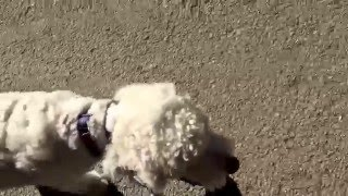 Teaching Loose Leash Walk With Goldendoodle