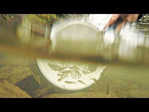 Запуск 6000 штук малька форелі в річки Карпат