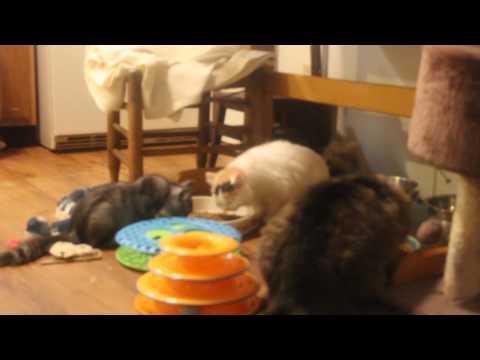 RagaMuffin Cat World-MVI 9147