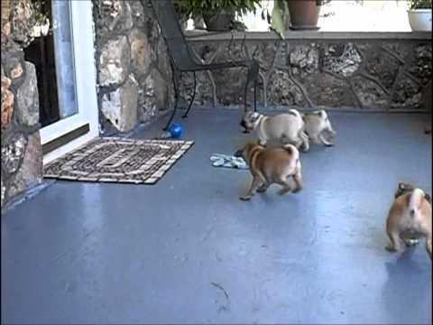 Riverhillpugscom Apricot Fawn Pug Puppies Youtube