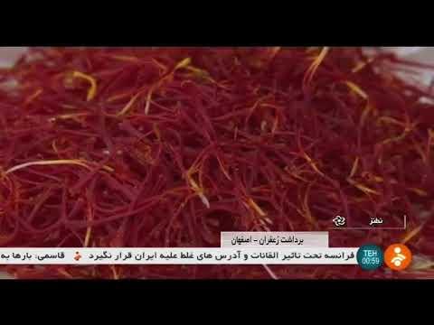 Iran Organic Saffron picking, Natanz county برداشت زعفران شهرستان نطنز ايران