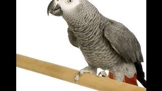 Жако, попугай Семён. Первое знакомство.