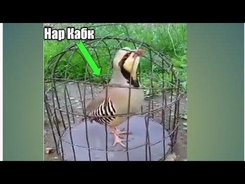 Садои нар Кабки маст 2020.Голос птиц как поёт Горная Куропатка, (Кеклик).