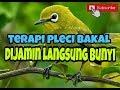 Terapi Ampuh Burung Pleci Bakal Dijamin Langsung Bunyi Kicau Mania(.mp3 .mp4) Mp3 - Mp4 Download