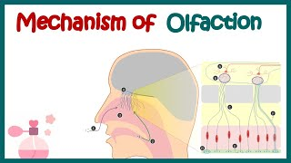 Olfaction and olfactory adaptation: From anatomy to neuronal coding