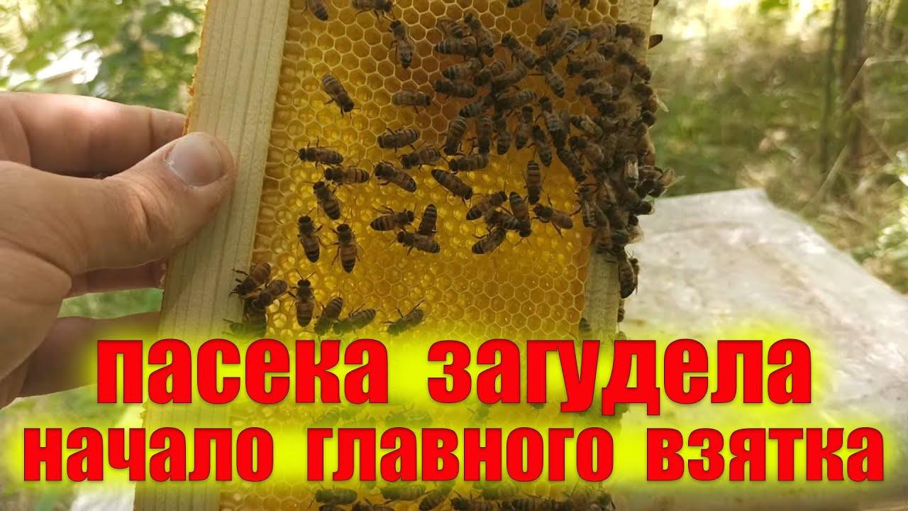 Начало главного взятка пчелами. Визуальный осмотр пасеки 16.07. 2021