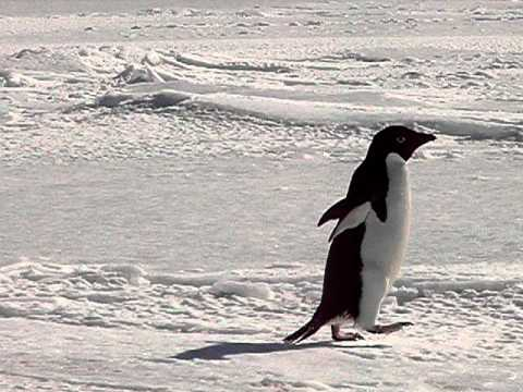 Curious Adelie Penguins, McMurdo Sound, Antarctica (2008)