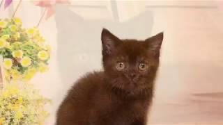 Британский котенок шоколадного окраса. Купить британского котенка