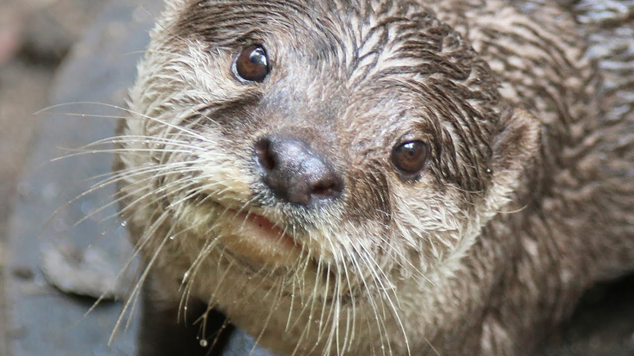 Otterly Brilliant! Training Asian Small-Clawed Otters ...