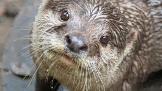 Repeat youtube video Otterly Brilliant! Training Asian Small-Clawed Otters