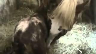 Рождение новой лошади. Первые шаги
