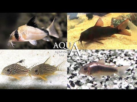 Aquascaping Lab - Corydoras Fish Armored Catfish Description / Pesce Pulitore Corazzato Descrizione