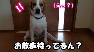 Beagle #ビーグル #うぃるさん 「おさ」で分かってくれる優しさ。 そ...