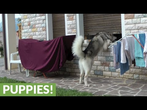 Clever Alaskan Malamute finds way inside home