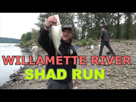 Shad Run - Willamette River ( Clackamette Park ) - What Tackle To Use