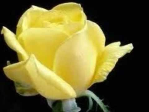 Một đóa hoa hồng nở