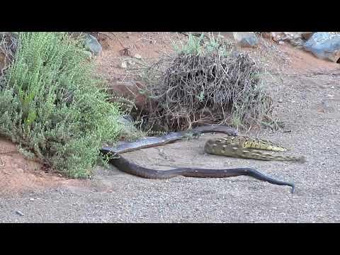 Snake bite Cobra
