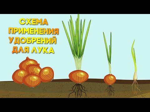 Вопрос: Можно ли есть лук после внесения удобрений?
