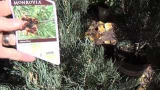 Pinyon Pine as a living Christmas Tree