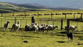 "Brilliant Working Dogs - ""sheep Station Nz"" Taster"