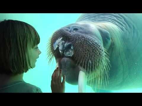 Walrus keeps throwing up fish