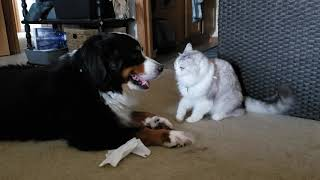 Bernese Mountain Dog & Ragamuffin Cat are Best Friends