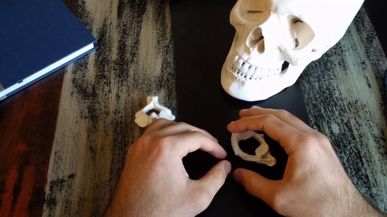 Cervical vertebrae - C1 and C2 - basic anatomy - YouTube