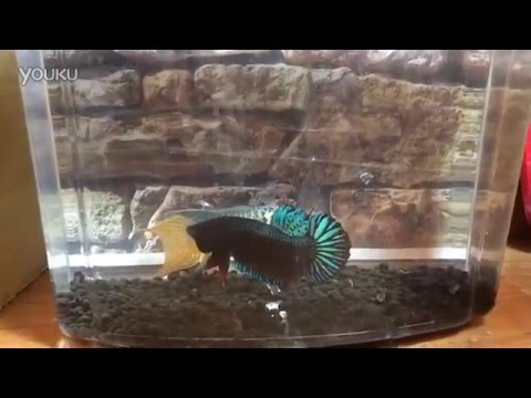 蓝叉尾鬥魚VS搏擊鬥魚 Macropodus Opercularis(Blue Paradise) Vs Plakat Fighter
