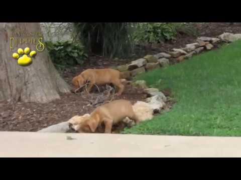 Dogue de Bordeaux (French Mastiff) Puppies