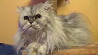 Красивая персидская кошка по имени Сильва (Persian cats)
