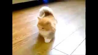 Милый котёнок с короткими лапками) На это можно смотреть вечно...
