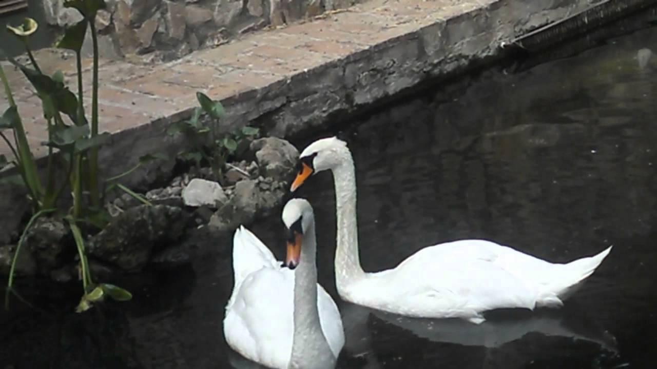 Las carpas en el estanque de los cisnes youtube for Carpas estanque