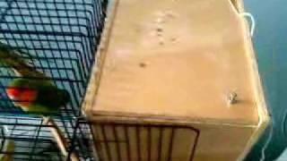 Lovebird laid 2 egg in the nest box.