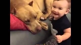 Dziecko całuje pitbulla